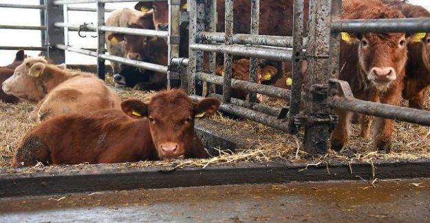Bien-être de la viande de Bœuf et de Porc: la Relaxation dans l'Étable
