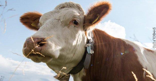 De la police:C'est un jeu du Chat et de la Souris de Jeu Ausgebüxte Vache ne se laisse pas capturer