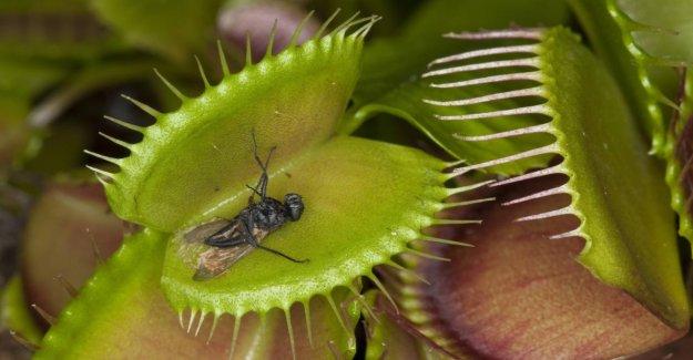 Les Plantes carnivores: La petite Horreur sur le Rebord de la fenêtre