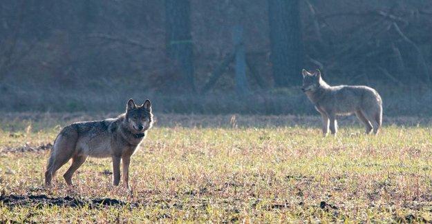 De chasse Revendications: la Peur du Loup est irrationnel