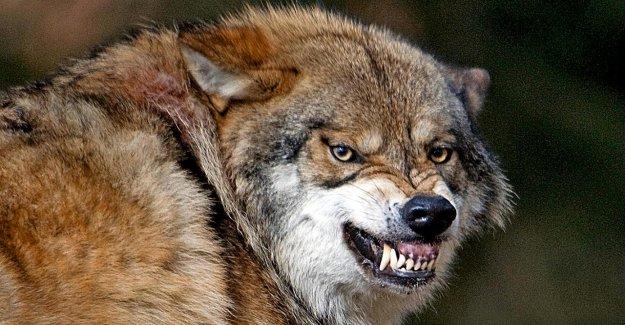Les prédateurs en France: Comment sont-ils dangereux Wolfshybriden?