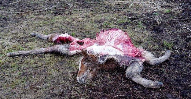 Loup-Peur: un Poney, il ne restait que la Tête et les Os reste