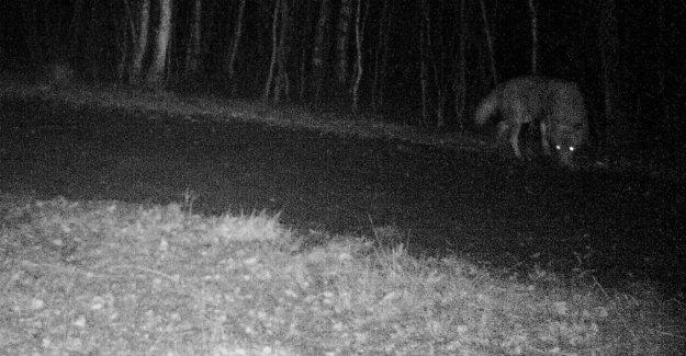 Loup, dans le Schleswig-Holstein: Ici, GW924 m déjà