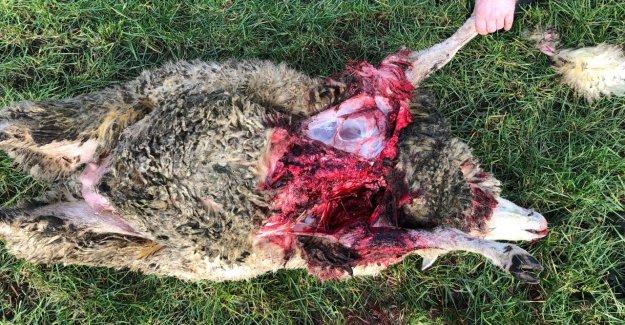 Moutons déchiré: il a Été le Problème-Loup GW924 m?
