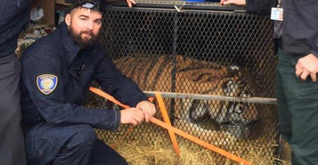 Pas Une Hallucination! Kiffer trouver le Tigre à échoué Maison