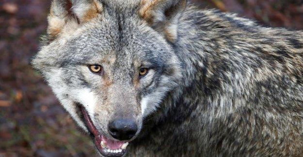 Raubtierfreie Zone exigé Politicien CDU veut Wolf à partir de la Résine de les chasser