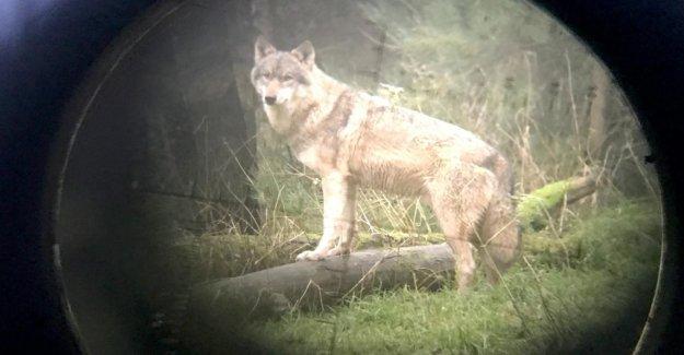 Loup-Chasse: GroKo parvient à un accord lors de la Dispute-Thème du Loup