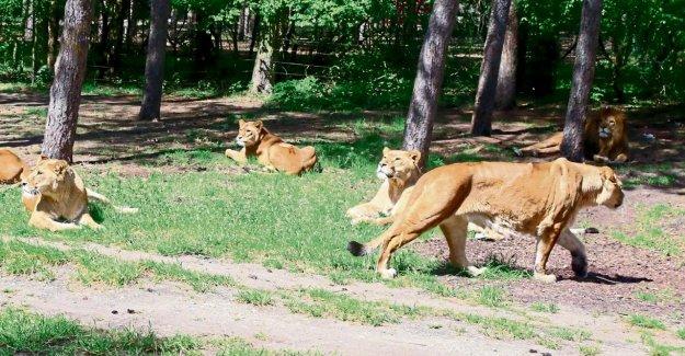 Louvain-Attaque dans le Parc du Serengeti: Infirmier envoie déjà Merci SMS