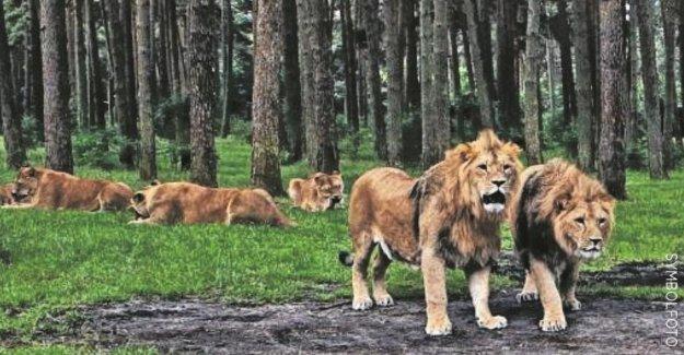 Serengeti-Park Hodenhagen: Infirmier de deux Lions attaqué!
