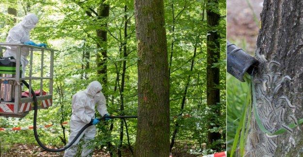 Mettlach: les Spécialistes de libérer de 25 Arbres de Poison-Nids: Les Raup-Ventouse