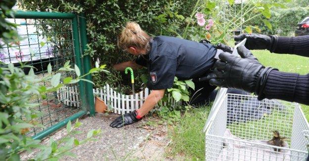 Animale Utilisation dans Wandsbek - Police sauve de Canard de la Famille