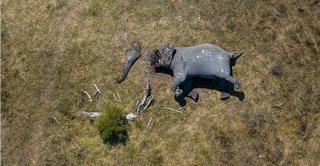 Éléphant en raison de ses Défenses émincée - Maudit Braconniers!