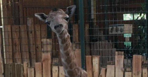 Zoo De Magdebourg: Kreislaufzusammenbruch! La girafe-Bébé mort