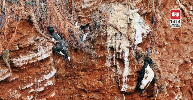 L'île de Helgoland d'Oiseaux, d'obstruction dans Plastikschnüren