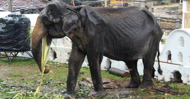 Sri Lanka: l'Éléphant (70) souffre de Bouddha-Parade