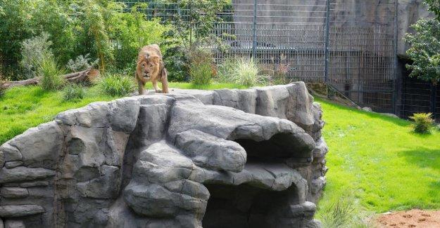 Zoo de cologne a construit un nouvel Enclos - chauffage par le sol pour les Lions-les Couples