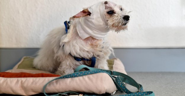Bad Salzuflen: Beißattacke dans le Café – Labrador skalpiert Chicco