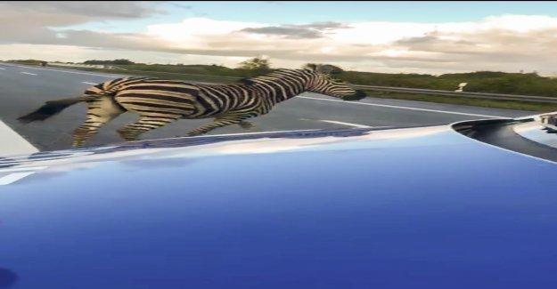 En Allemagne: Zebra büxt de Cirque et est abattu à Vue