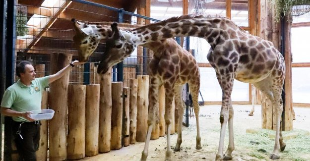 Magdebourg: Girafes-l'Interdiction pour le Zoo