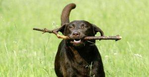 Les chiens Top Ten 2018: le meilleur Ami de L'Allemand, le Labrador