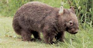 Voyage-News de la Semaine: Île Australienne veut pas Wombat-Selfies plus
