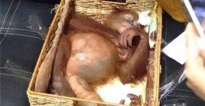 À l'Aéroport de Bali: l'Orang-Outan de Bébé contre la Contrebande et la sauvé