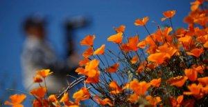 Pour de nombreux Visiteurs: Californie verrouille afin prairie Fleurie en Walker Canyon