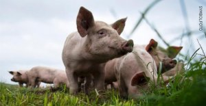 La Recherche d'Alzheimer: des Chercheurs AMÉRICAINS réactiver mort de Porc Cerveau