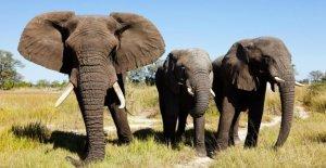 Botswana: les Éléphants de Chasse bientôt le permet, parce que la Récolte zertrampeln