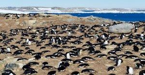 Pingouins et des Phoques, des engrais...