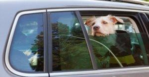 Chien d'apariv à Chaleur: Est-vitres du véhicule enfoncement autorisé?