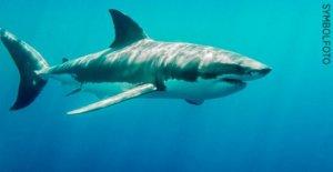 Requin mortelle Attaque aux Bahamas: trois Animaux poignées Femme