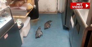 Nouvelle-zélande: les Pingouins de Sushi Charger arrêté