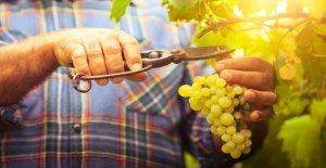 Après la Canicule de l'été 2019: Trop d'Alcool dans le Vin allemand