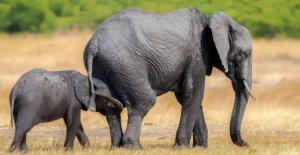 La suisse veut le Commerce des Éléphants n'est pas de restreindre la Vue à