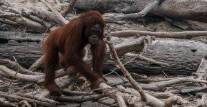 Bornéo-Incendies menacent les Orangs-Outans – toxiques de la Fumée attire jusqu'à Singapour