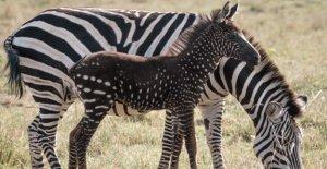 Kenya: Zebra-Poulain avec Zèbre Points repérés